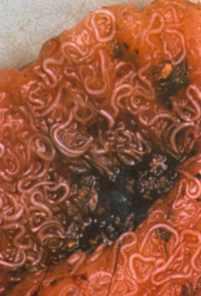 Was ist zufälliger Wirt für die Parasiten